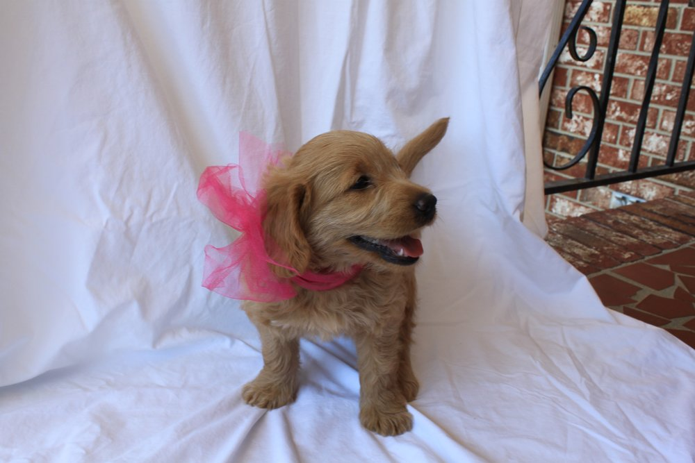 My name is Pink! I am a MINIATURE Labradoodle! My mom is a Yellow English Labrador and my dad is a red Miniature poodle. My parents are AKC registered. I am lighter in color and have wavy hair. I love to snuggle and be loved on. I love to wag my tail and play. I am played with daily with 5 wonderful kids. They love to hold me and dress me up