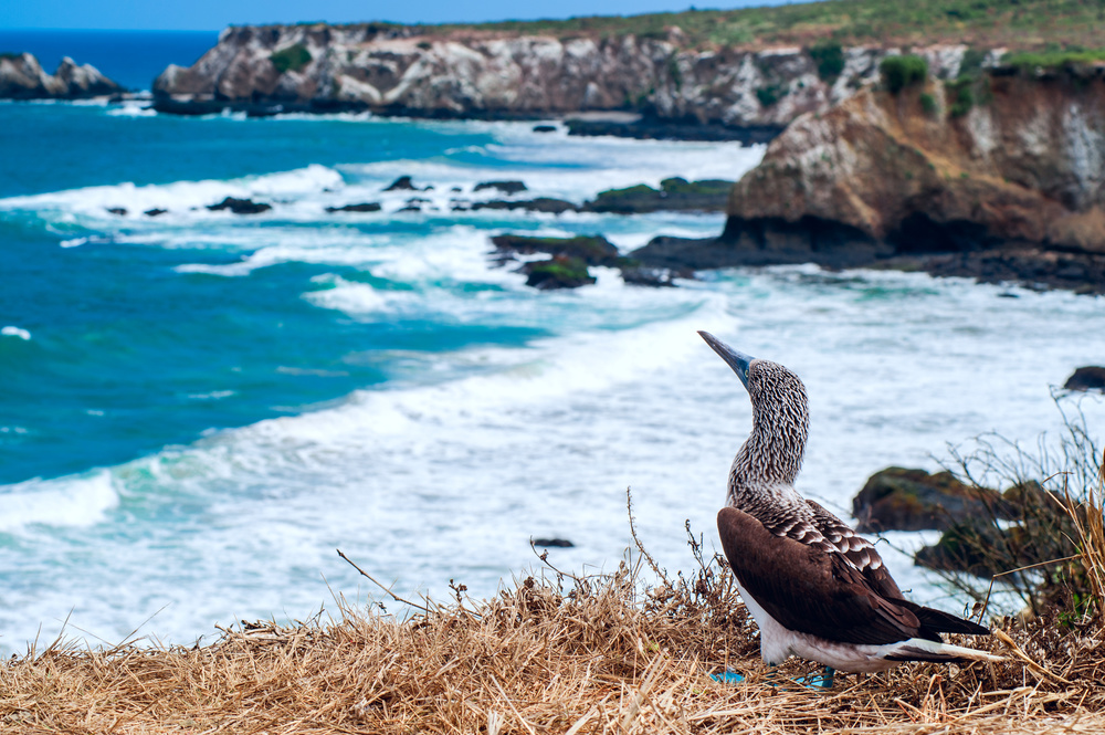 Isla de la Plata - Blue Footed Booby