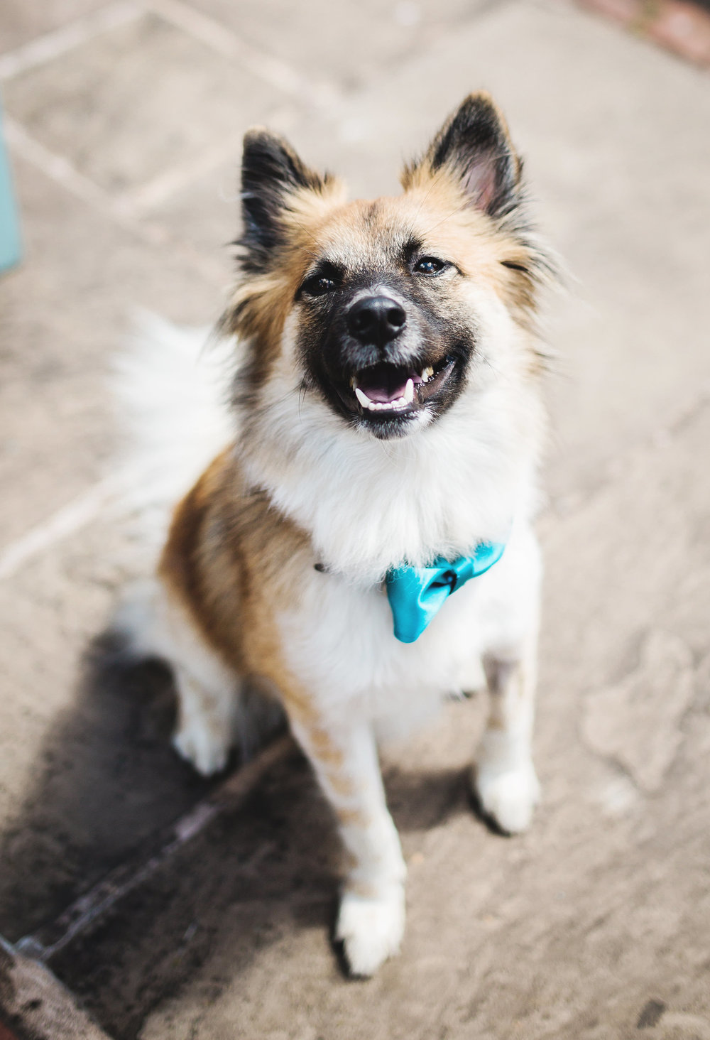 The family dog with it's bow tie on- Relaxed wedding photography