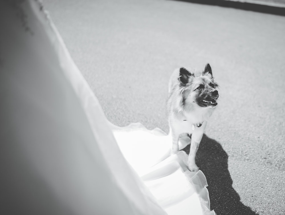Black and white photograph of the family pet- Preston wedding photography