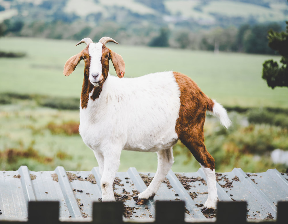 A goat at the Bashall barn- Ribble valley