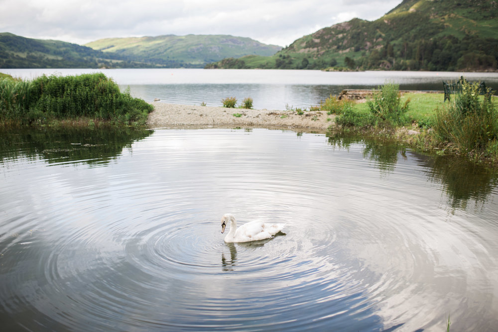 Swan in the lake at the lake district