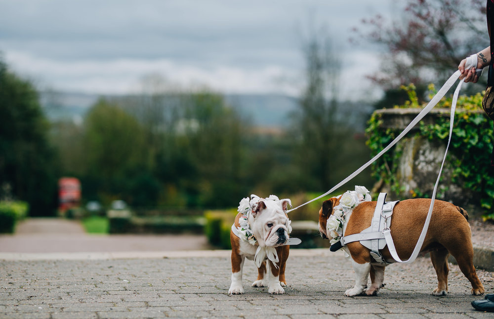 dogs at weddings - eaves hall wedding photography
