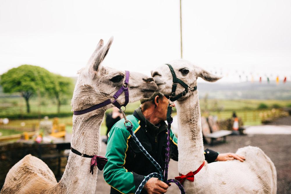 Alpacas at a wedding, Wellbeing Farm, DIY wedding.