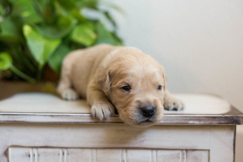 Puppies_2week-01.jpg
