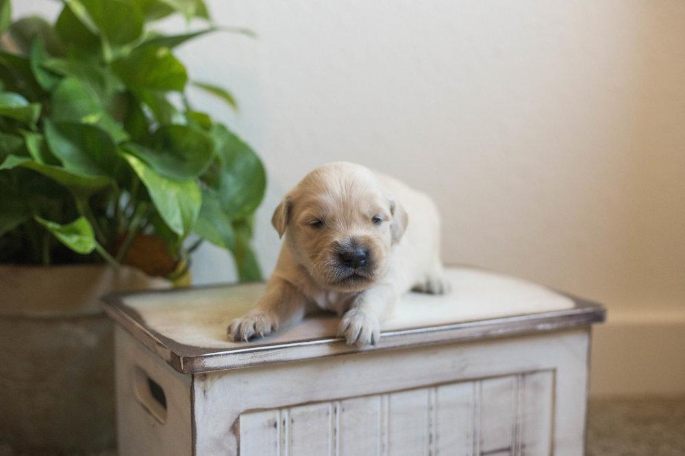 Puppies_2week-04.jpg