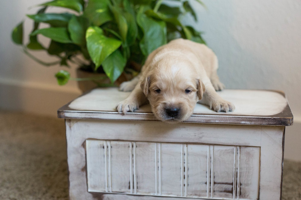 Puppies_2week-09.jpg