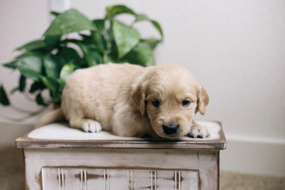 ShilohsPuppies4weeks01.jpg