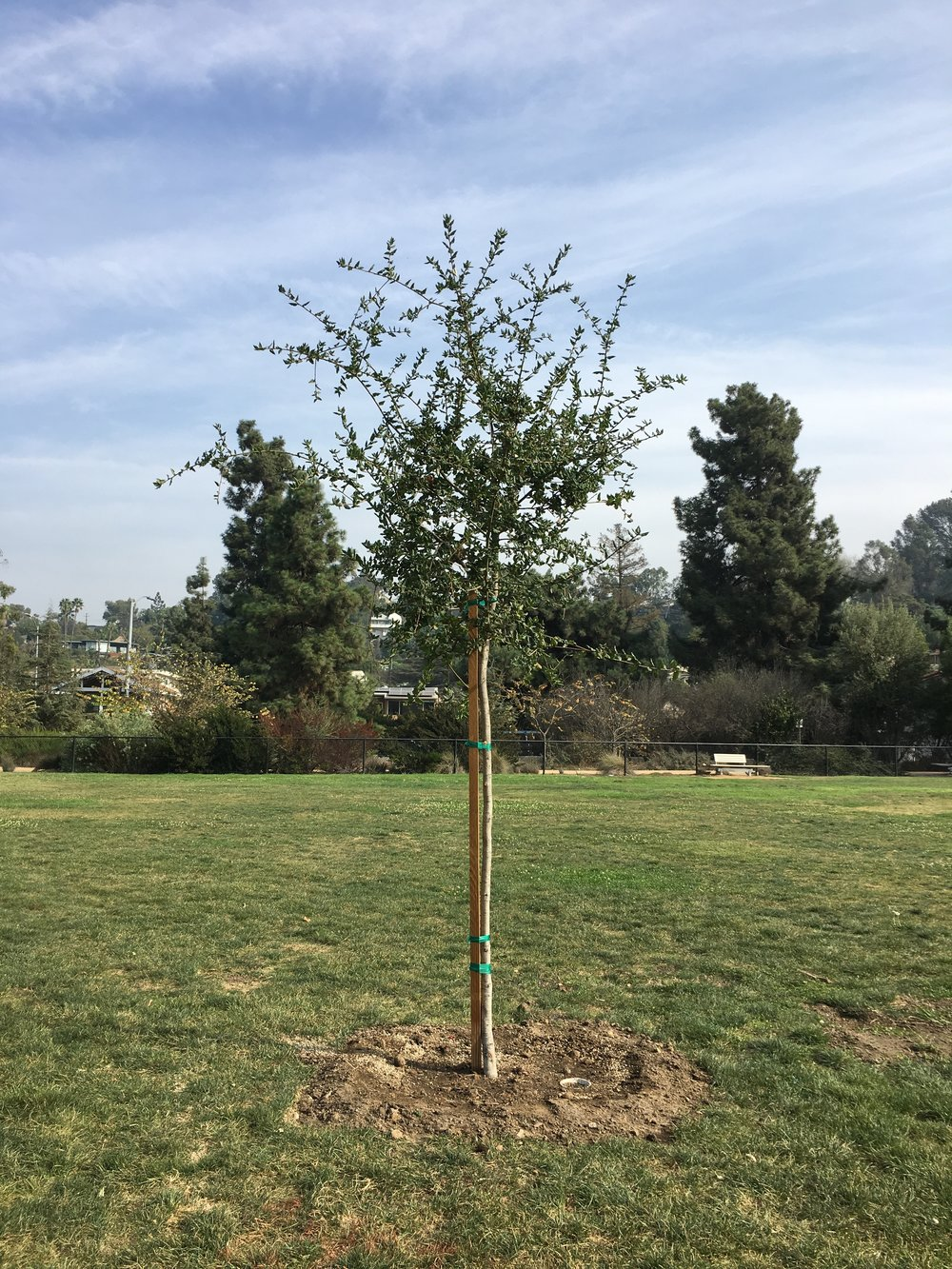 A new Valley Oak in the Meadow Park
