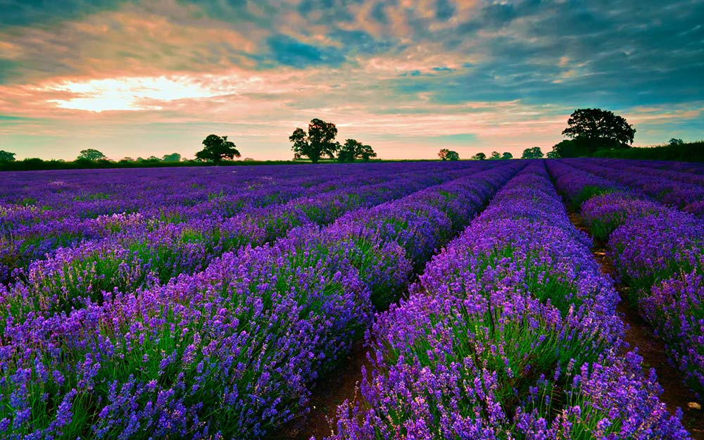 lavender-field-trees-horizon.jpg