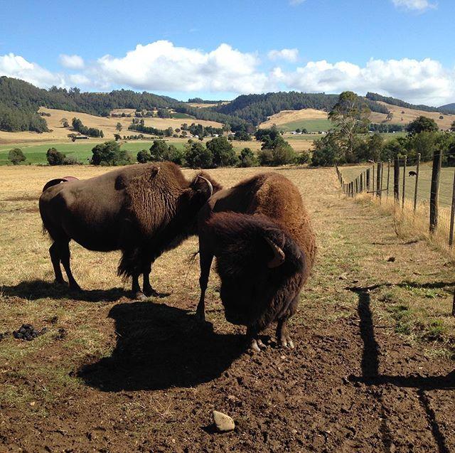 American Bison@ Wings Wildlife Park -nearing extinction