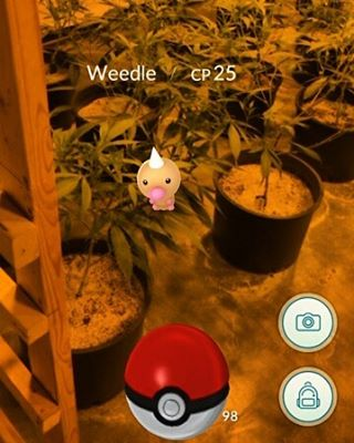 Doing a little quality control in our rooms and found a weedle! This little guy feels right at home. Gotta catch them all! #weedle #pokemongo #pokemon #i502 #driftboatcannabis #marijuana #weed #marijuana #weedstagram #weedporn #420 #710 #catchingfire #pokeball #cinderella99 #cenex #cannabiscommunity #topshelf #topshelflife #pnw #pnwlife #highlife #highsociety #lowtemp  #pnw #oprahsbookclub #thc Warning: product has intoxicating effects and may be habit forming. Marijuana can impair concentration, coordination, and judgement. Do not operate a vehicle or machinery under the influence of this product. There may be health risks associated with consumption of this product. For use only by adults twenty one and older. Keep out of reach of children.