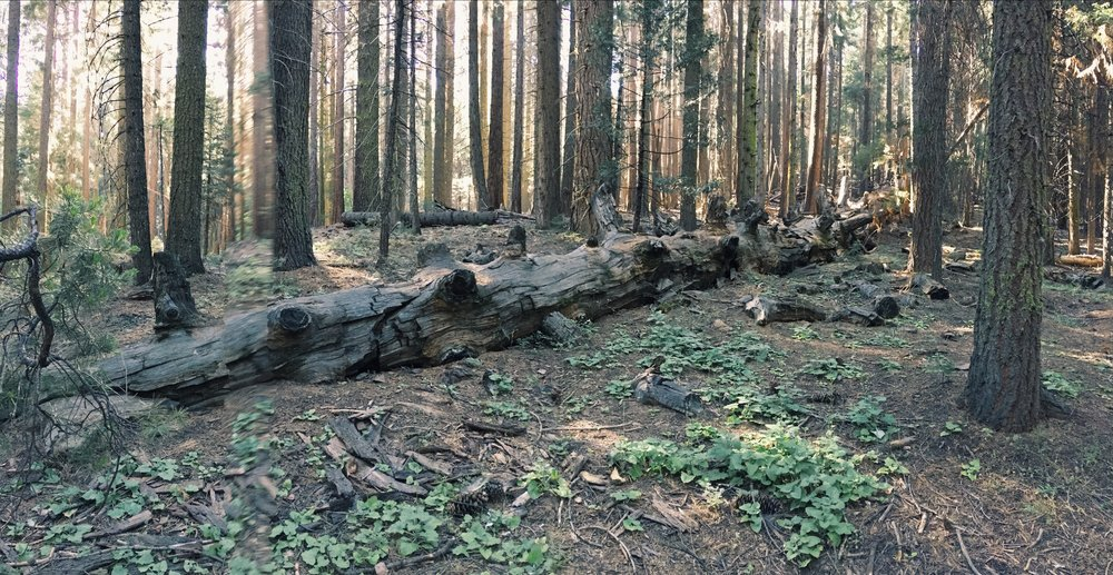Fallen Sequoia tree in Sierra National Forest, California. Basilisk groove marks were found in the nearby underbrush.