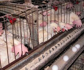 hens_battery.jpg