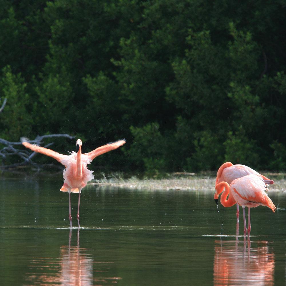 Galapagos Floreana Tropic Pink Flamingoes.jpg