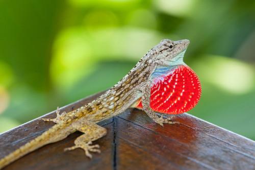 Lapa-Rios-Costa-Rica-lizard-12042013-_MG_1205-500w.jpg