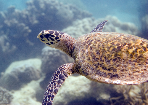 Chumbe-Island-Tanzania-hawksbill_turtle_Oskar_Henriksson-500w.jpg