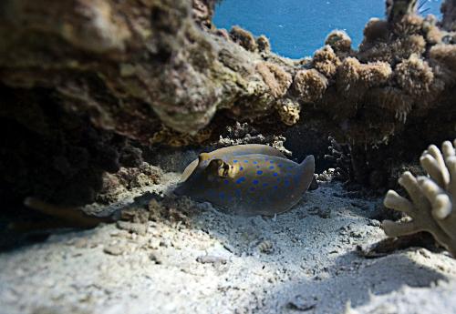 Chumbe-Island-Tanzania-blue_spotted_stingray-500w.jpg