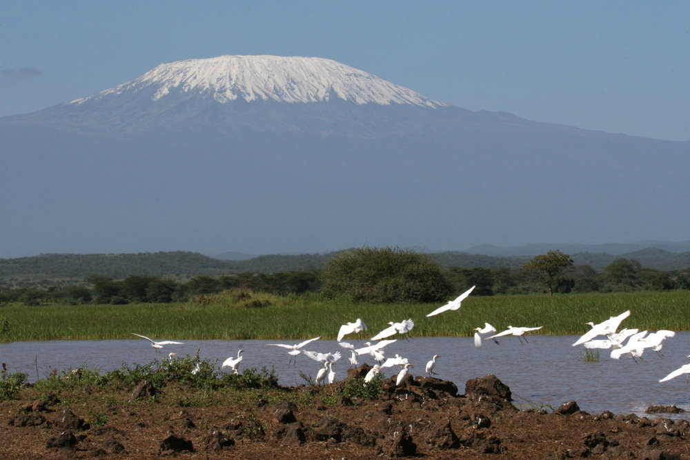 Egrets in front of Mount Kilimanjaro