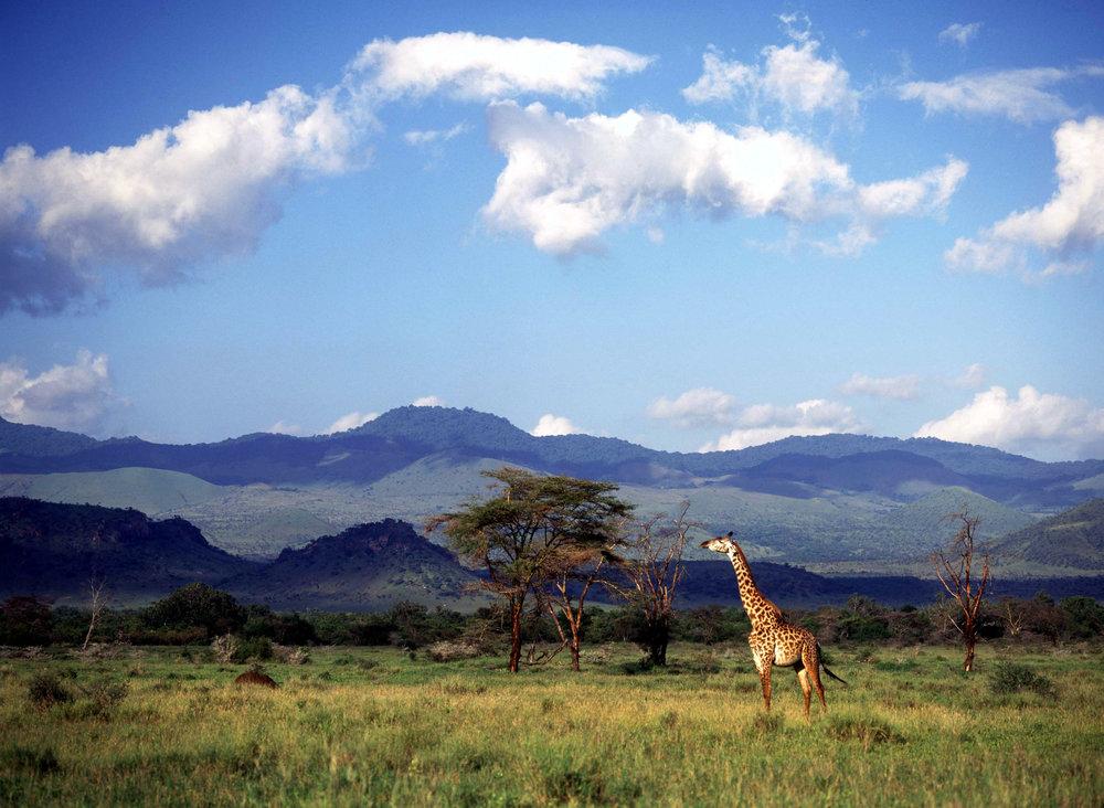 Giraffe, Chyulu