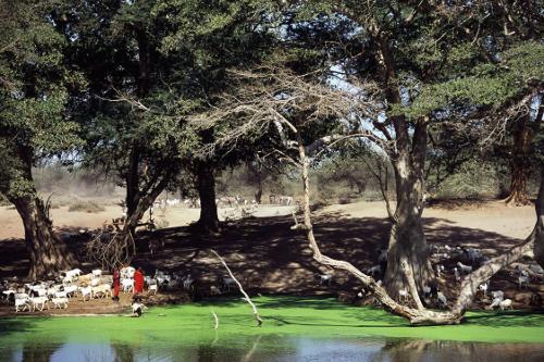 Spring maasai herding livestock