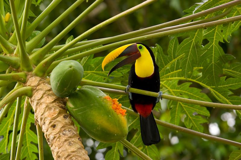 Toucan, Lapa Rios, Costa Rica