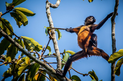 Spider Monkey: Species: A.g. Panamensis