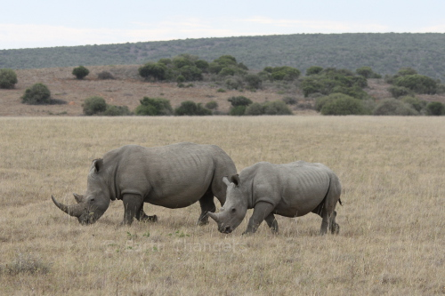 Southern White Rhino & juvenile