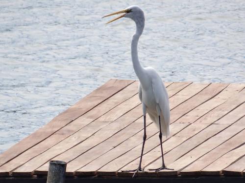 Lake Nicaragua Heron
