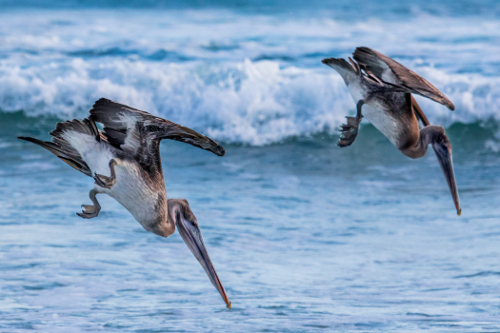 pelicans fishing in partnership, the galapagos islnds
