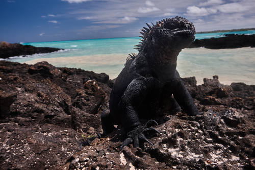 Galapagos-Tropic-Marine-iguana-Garrapatero-beach-500x333.jpg