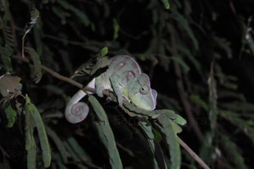 Madagascar-chameleon
