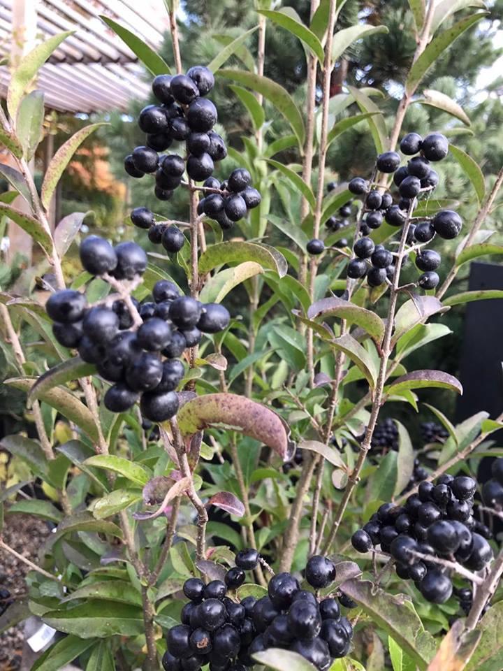 shrubs -