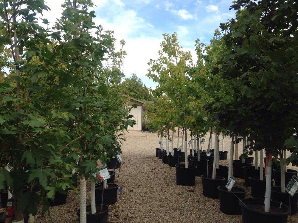 shade trees -