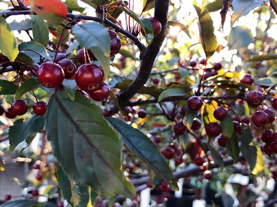 ornamental trees -