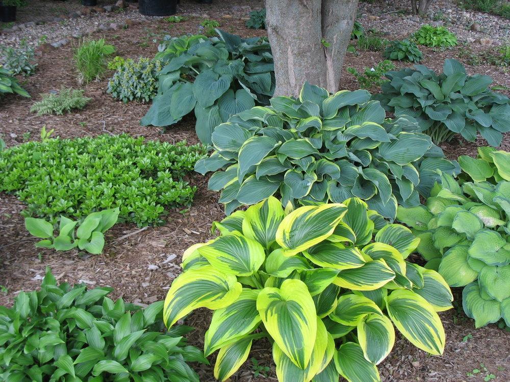 shade perennials -