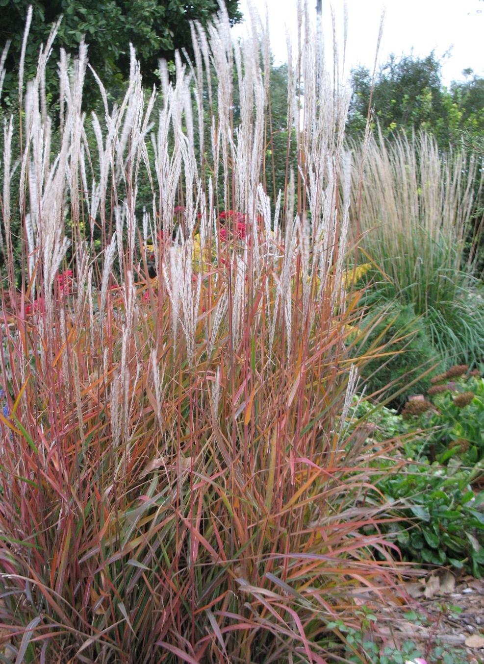 Grasses -