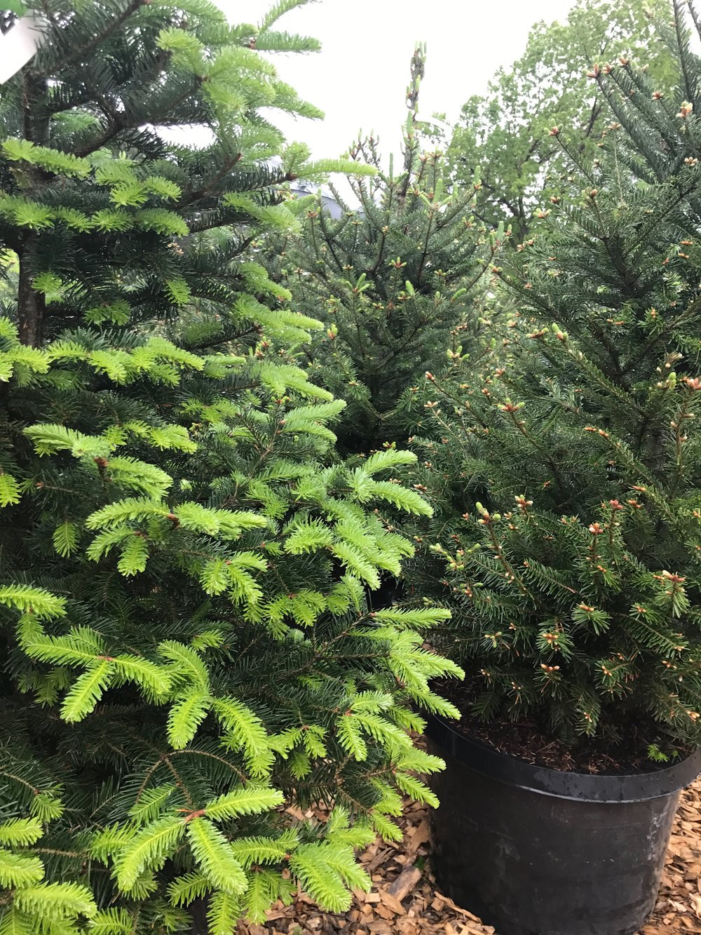 Evergreen Trees -