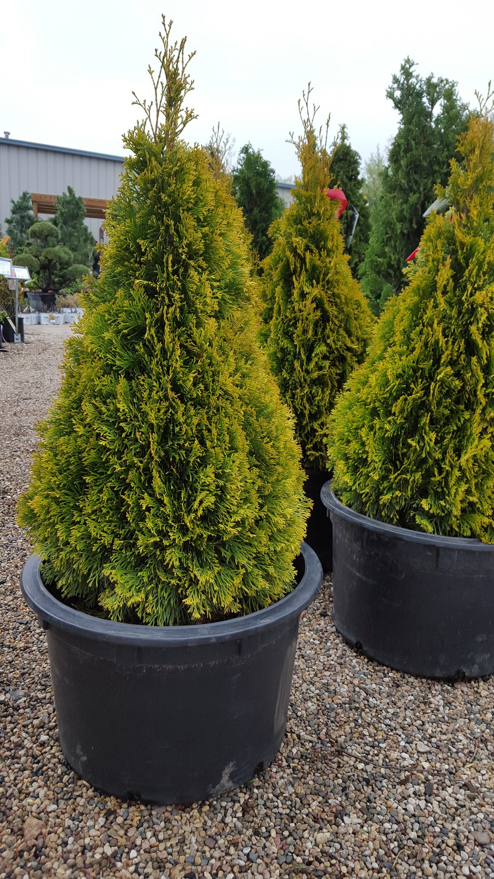 Ornamental Evergreens -