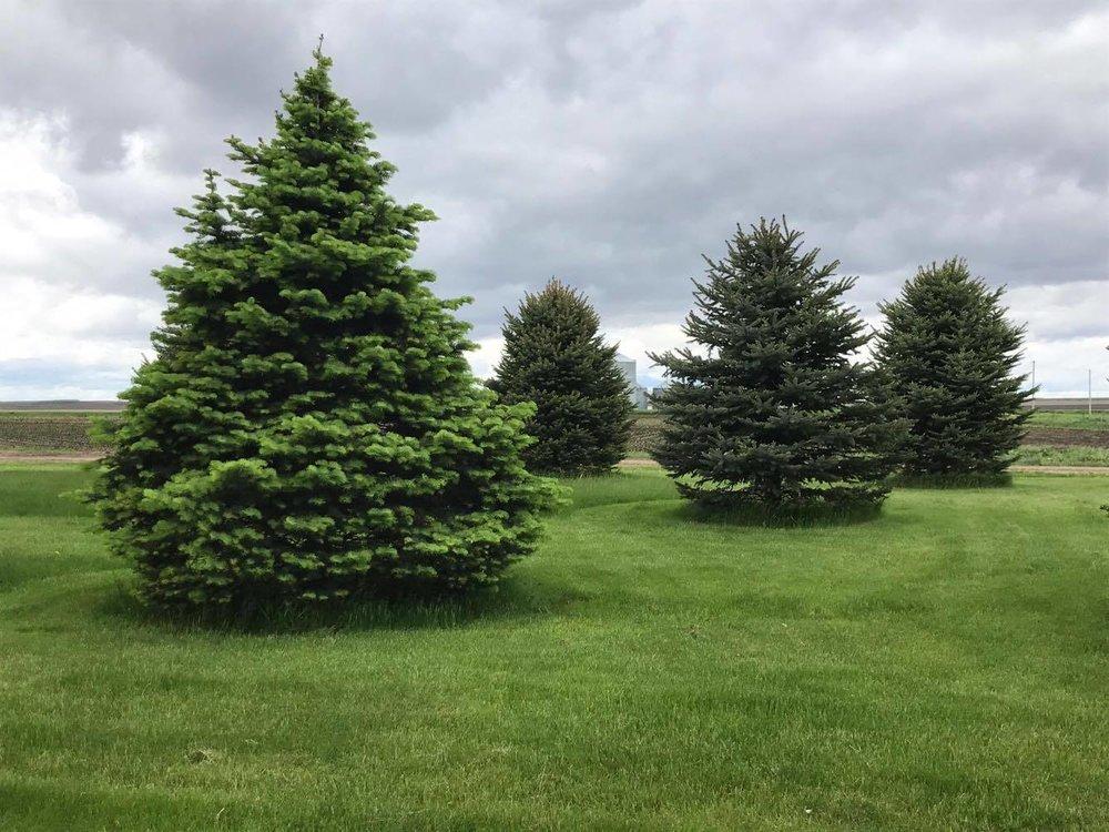 evergreen Trees -