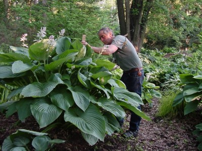 empress wu  - LARGE HOSTA · W: 60-72