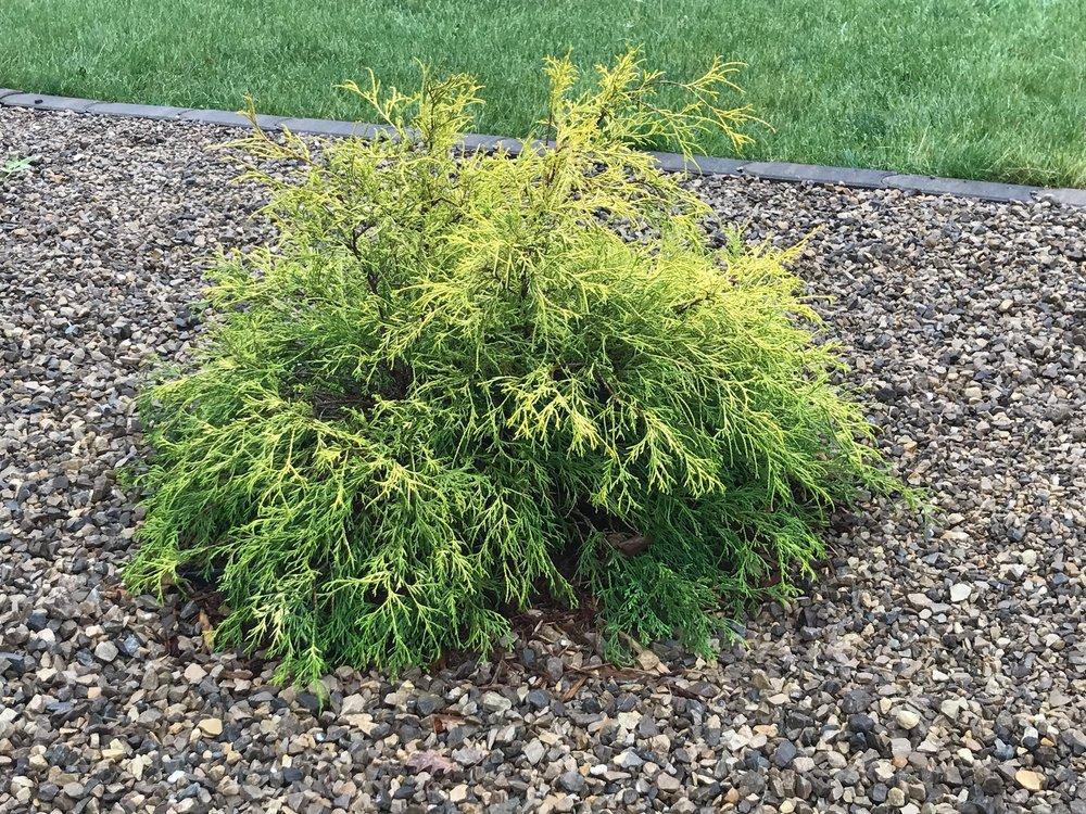 Golden Mops False Cypress