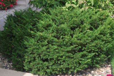 Dark Green Yew