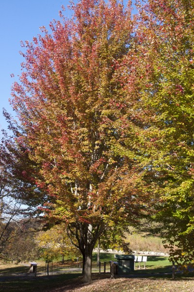 Autumn Blaze Maple