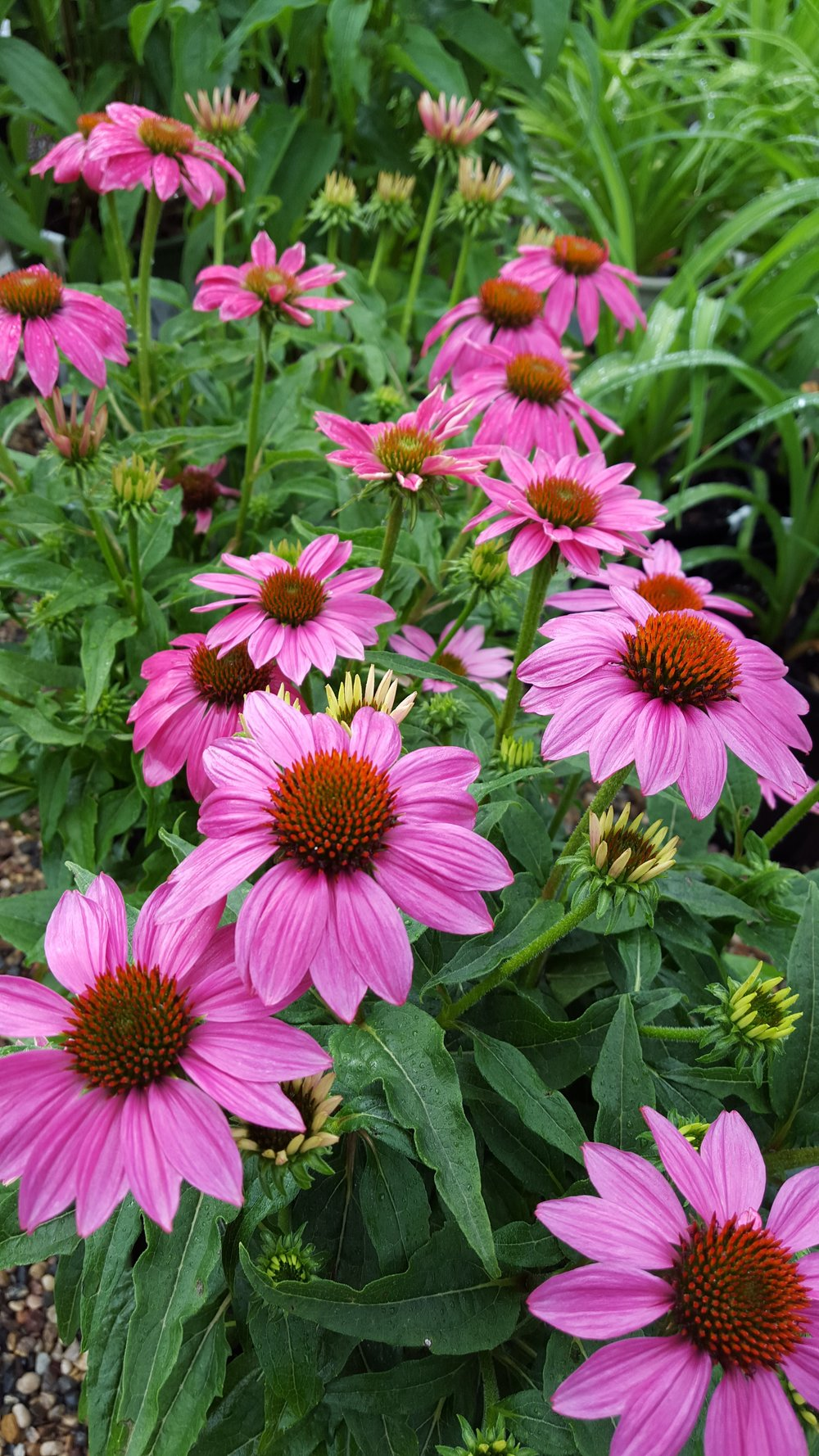 PowWow Wildberry Coneflower