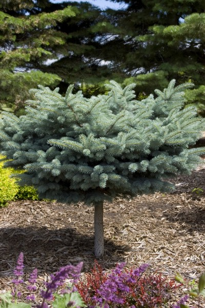 Globe Blue Spruce Standard