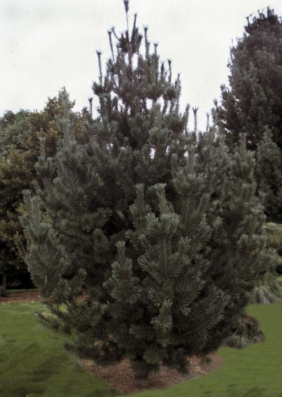 Vanerwolf's Limber Pine