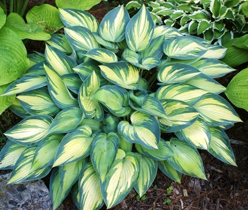 jUNE  - MEDIUM HOSTA· W: 30