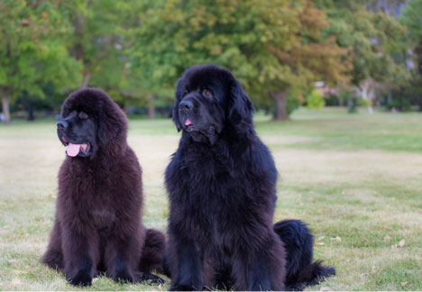 Raw dog food diet for Newfoundlands