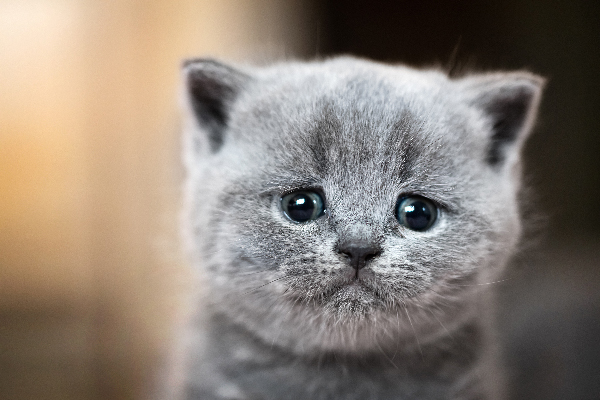 A-gray-cat-crying-looking-upset.jpg